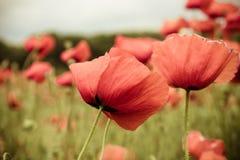 Slutet av den röda vallmo blommar upp i vårfält Royaltyfria Bilder