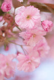 Slutet av den rosa sakura körsbärsröda blomningen blommar upp Royaltyfri Foto