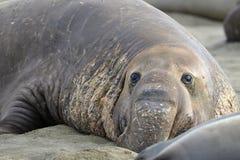 Elefanten förseglar, övre för male vuxen beachmaster nära stor sur, califor Arkivfoto