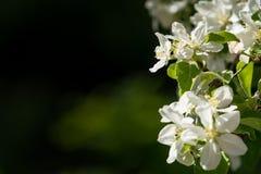 Slutet av det härliga blommande äpplet blommar upp med mörk omgivning Royaltyfria Bilder