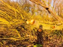 Slutet av det kala stupade skället för trädstubben förgrena sig upp på golvsommar Fotografering för Bildbyråer