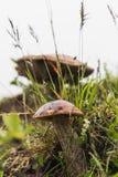 Slutet av en lös vit plocka svamp upp i gröna gras på Island royaltyfria foton