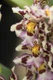 Slutet av en rad av orkidén blommar upp Royaltyfria Foton
