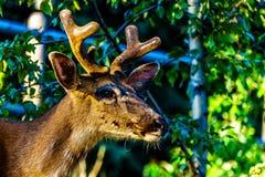 Slutet av en svart Tailed hjort i den alpina byn av solen når en höjdpunkt upp i den Shuswap Skotska högländerna royaltyfri bild