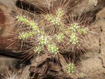 Slutet av en uppsättning av taggar av en kaktus between vaggar upp på en ointressant jordning royaltyfri fotografi