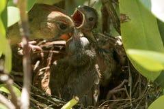 Slutet av fågeln som matar hennes fågelungar i fåglar, bygga bo upp Royaltyfri Bild