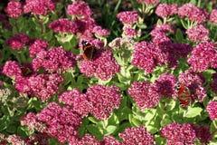 Slutet av fjärilen på den Hylotelephium triphyllumväxten blommar upp Royaltyfria Foton