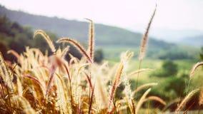 Slutet av gräs blommar upp i varmt ljus Arkivfoto