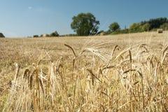 Slutet av guld- korn gå i ax upp med bakgrund av fältet Arkivbilder