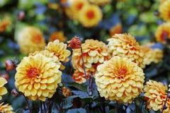 Slutet av guling blommar upp i trädgård royaltyfri bild