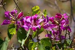 Slutet av härliga blommande Hong Kong Orchid Tree Monrovia lilor blommar upp arkivfoto