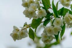Slutet av jasmin blommar upp i en trädgård royaltyfria bilder