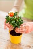 Slutet av kvinnan räcker upp att plantera rosor i kruka Arkivbild