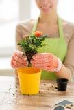 Slutet av kvinnan räcker upp att plantera rosor i kruka Royaltyfri Bild