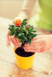 Slutet av kvinnan räcker upp att plantera rosor i kruka Royaltyfri Fotografi