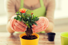 Slutet av kvinnan räcker upp att plantera rosor i kruka Arkivbilder