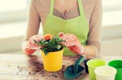 Slutet av kvinnan räcker upp att plantera rosor i kruka Royaltyfri Foto