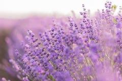 Slutet av lavendel blommar upp i ett lavendelfält under soluppgångljuset Fotografering för Bildbyråer