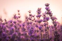 Slutet av lavendel blommar upp under soluppgångljuset Royaltyfri Bild