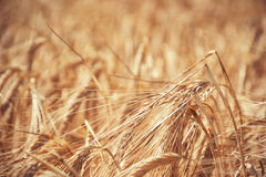 Slutet av mognande gult korn gå i ax upp på fält på sommartid Detalj av guld- spikelets för kornHordeumvulgare skörda rich Arkivfoton