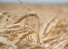 Slutet av mognande gult korn gå i ax upp på fält på sommartid Detalj av guld- spikelets för kornHordeumvulgare skörda rich royaltyfri fotografi