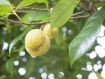 Slutet av muskotnöt bär frukt upp på ett träd arkivbild