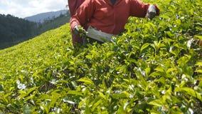 Slutet av oigenkännliga kvinnliga händer skördar upp te på kolonin på solig dag i vårsäsong Lokal indisk kvinna arkivfilmer