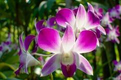 Slutet av orkidén blommar upp i den berömda Singapore botaniska trädgården Arkivfoton