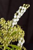 Slutet av pierisen blommar upp på svart Royaltyfri Fotografi
