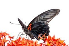 Stor fjäril för Mormon (Papilio memnonagenor) arkivbilder