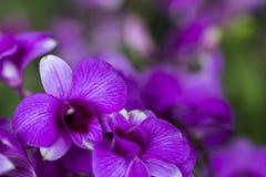 Slutet av purpurfärgade dendrobiumorkidér blommar upp med suddig bakgrund Royaltyfri Bild