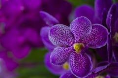 Slutet av purpurfärgade dendrobiumorkidér blommar upp med suddig bakgrund Royaltyfria Foton