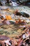 Slutet av röda lönnar för den bruna eken lämnar upp att ligga översvämmat i floden i härlig färgrik skog med den flödande bäckflo royaltyfria foton
