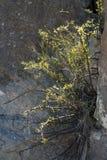 Slutet av skurar upp borsten i vaggar av Santa Elena Canyon i stor krökningnationalpark Arkivbilder