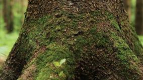 Slutet av stort sörjer upp trädstammen arkivfilmer