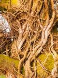 Slutet av torr brunt för naturen för trädåderskället gör bar upp Arkivbild