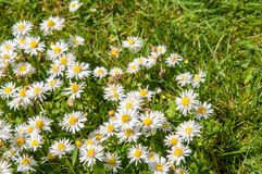 Slutet av tusenskönan blommar upp på en sommardag från fast utgift royaltyfri fotografi