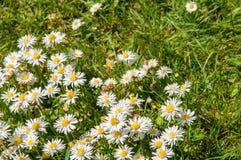 Slutet av tusenskönan blommar upp på en sommardag från fast utgift royaltyfri foto