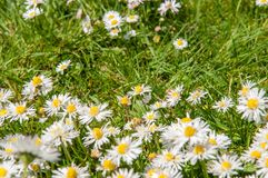 Slutet av tusenskönan blommar upp på en sommardag från fast utgift royaltyfria bilder