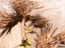 Slutet av under av vit mjölkar upp tistelväxtsilybumen maria arkivbilder