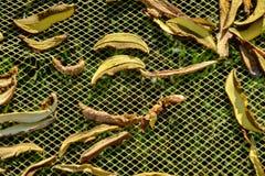 Slutet av uttorkningsnittet plocka svamp upp på netto torkbakgrund i trädgård Högen av naturlig torkad skivad sopp plocka svamp f Royaltyfri Foto