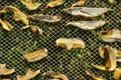 Slutet av uttorkningsnittet plocka svamp upp på netto torkbakgrund i trädgård Högen av naturlig torkad skivad sopp plocka svamp f Royaltyfri Fotografi