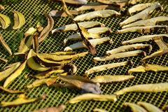 Slutet av uttorkningsnittet plocka svamp upp på netto torkbakgrund i trädgård Högen av naturlig torkad skivad sopp plocka svamp f Arkivfoton