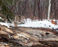 Bobcat Arkivfoto