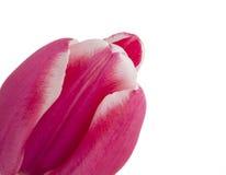 Slutet avbildar upp av singelrosa färgtulpan Arkivfoton