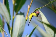 Slutet avmaskar upp caterpillarlies på leafen Arkivbild