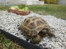 Slutet behandla som ett barn upp landsköldpaddabehållaren på det gröna gräset i det soliga ljuset med mat royaltyfria bilder