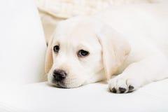 Slutet beskådar upp av den gulliga valpen som ligger på sofaen royaltyfri fotografi