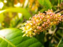 Slutet blommar upp av mango Fotografering för Bildbyråer