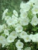 Slutet blommar upp av vita petunior Arkivfoton